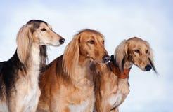 Un ritratto dei tre cani Fotografia Stock