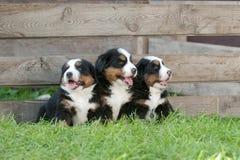 Un ritratto dei tre di Bernese di montagna cuccioli del cane Immagine Stock