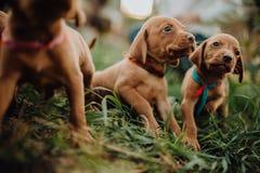 un ritratto del cane indicante ungherese del cucciolo sveglio tre, soggiorno di vizsla su erba Priorità bassa del Brown fotografia stock libera da diritti