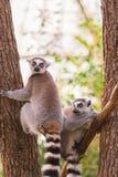 Un ritratto del catta delle lemure di due lemure catta sui rami di albero Fotografia Stock