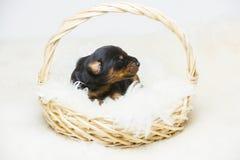 Un ritratto del cucciolo del doberman da 10 giorni Immagini Stock Libere da Diritti