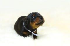 Un ritratto del cucciolo del doberman da 10 giorni Fotografie Stock