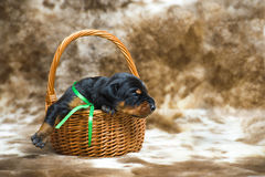 Un ritratto del cucciolo del doberman da 10 giorni Fotografia Stock Libera da Diritti