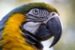 Un ritratto del pappagallo Fotografia Stock