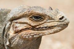 Un ritratto dell'iguana del rinoceronte Fotografia Stock Libera da Diritti
