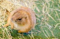 Un ritratto della marmotta marrone sveglia che sta da solo su un'erba verde Immagini Stock Libere da Diritti
