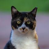 Un ritratto della testa del primo piano del gatto Fotografie Stock Libere da Diritti