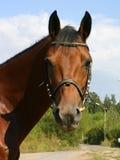 Un ritratto dello stallion metà-arabo sulla strada Fotografia Stock Libera da Diritti