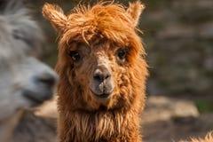 Un ritratto di un'alpaga dai capelli rossi con un colpo raso Fotografia Stock