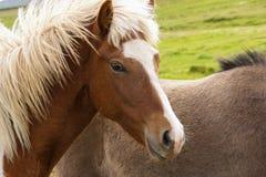 Un ritratto di bello cavallo islandese nel campo in Islanda del Nord fotografia stock libera da diritti