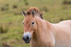 Un ritratto di un cavallo selvaggio di Przewalski in pascolo Fotografia Stock