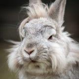 Un ritratto di un coniglio della nana bianca fotografie stock libere da diritti