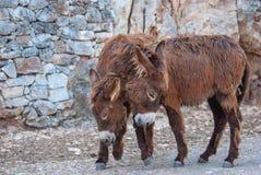 Un ritratto di due asini marroni durante l'adulazione immagini stock