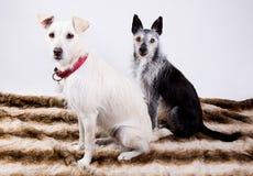 Un ritratto di due cani Immagine Stock Libera da Diritti