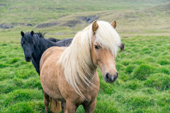 Un ritratto di due cavalli immagine stock libera da diritti