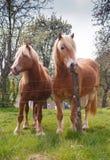 Un ritratto di due cavalli da tiro belgi biondi nel pascolo di primavera Immagini Stock Libere da Diritti