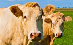 Un ritratto di due mucche marrone chiaro in un prato olandese Fotografia Stock Libera da Diritti