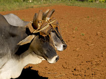 Un ritratto di due oxes legati da un giogo Immagine Stock