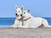 Un ritratto di due pastori bianchi dello svizzero Immagini Stock