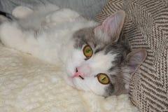 Un ritratto di un gatto domestico del ragamuffin dai capelli lunghi fotografie stock