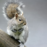 Un ritratto di Grey Squirrel adulto (carolinensis dello Sciurus). Fotografie Stock
