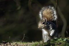Un ritratto di Grey Squirrel adulto (carolinensis dello Sciurus). Immagini Stock Libere da Diritti