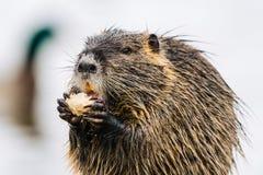 Un ritratto di piccolo coypu che mangia qualcosa Fotografie Stock