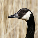 Un ritratto di profilo di un'oca adulta del Canada (canadensis del Branta). Immagini Stock
