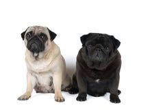 Un ritratto di razza di due carlini Fotografia Stock Libera da Diritti