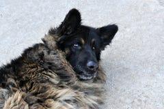 Un ritratto di un cane di pastore grigio della Germania. Fotografie Stock Libere da Diritti
