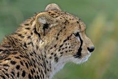 Un ritratto di un ghepardo (jubatus del Acinonyx) Fotografia Stock