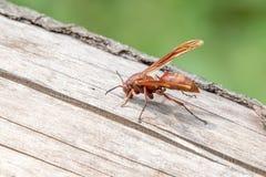 Un ritratto di una vespa Fotografia Stock
