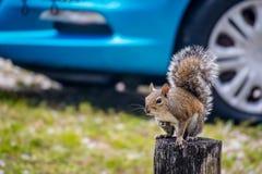 Un ritratto sparato di uno scoiattolo marrone sveglio nel corallo del capo, Florida immagine stock