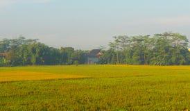 Un riz met en place dans le pays tropical le matin Image stock