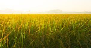 Un riz met en place la fin lumineuse de padi dans le matin Photographie stock