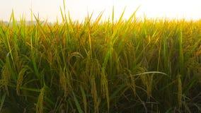 Un riz met en place la fin lumineuse de padi dans le matin dans pekalongan Image stock
