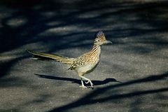 Un Roadrunner Immagine Stock