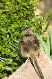 Roadrunner sur la roche Photo stock