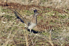 Un Roadrunner plus grand Images stock