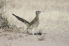 Un Roadrunner plus grand (californianus de Geococcyx) Photo stock