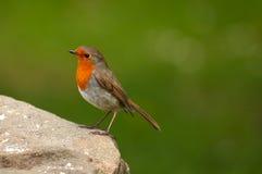 Un Robin Photos libres de droits