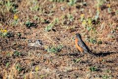 Un Robin che sta sulla terra che cerca qualcosa mangiare Fotografia Stock