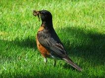 Un Robin con un verme fotografia stock libera da diritti