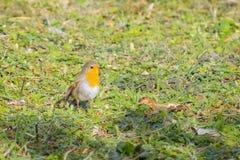 Un Robin européen Photos stock