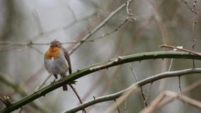 Un Robin europeo archivi video