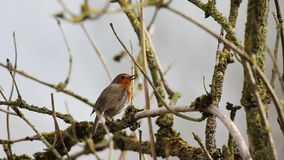 Un Robin europeo stock footage