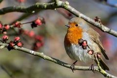 Un Robin si è appollaiato su una parrucca immagine stock libera da diritti