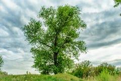 Un roble verde joven alto y nubes gris oscuro Fotos de archivo