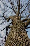 Un roble viejo aumenta sus ramas en un cielo azul imagen de archivo libre de regalías