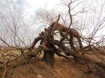 Un roble viejo solitario con las ramas que caen apagado el tronco Fotografía de archivo libre de regalías